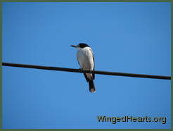 Larry the pied butcherbird on the power wire