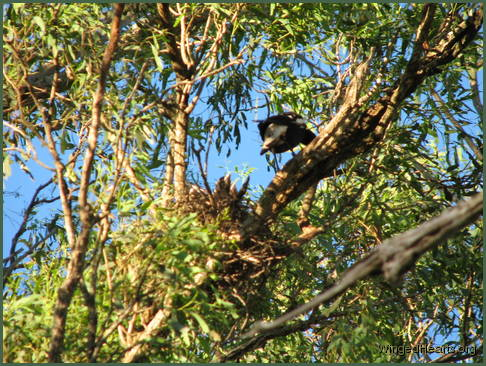Vicky magpie feeding chick in nest