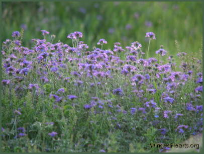 fields of purple as the verbena thrives